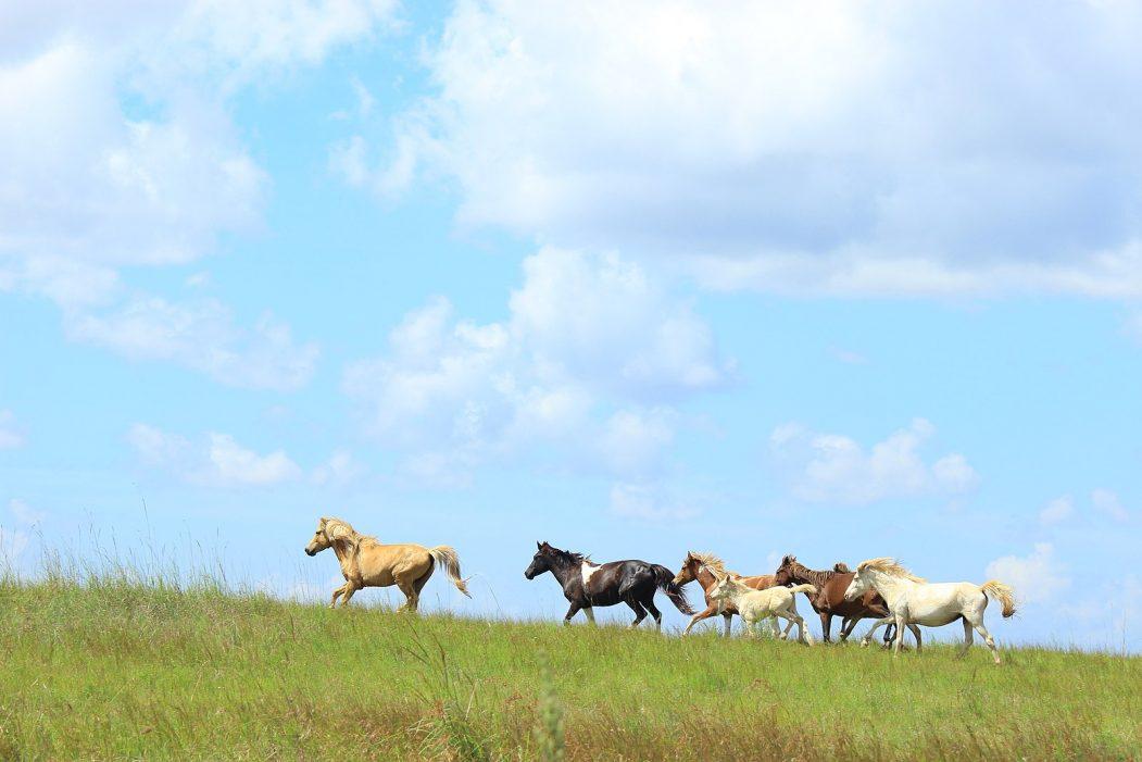 Horses of Sumba